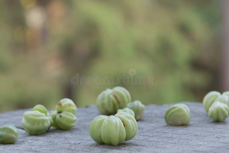 Bunte Kapuzinerkäseblumen mit grünen Samen auf natürlichem Hintergrund stockfotos
