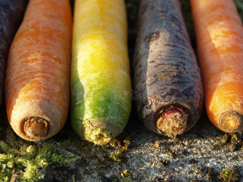 bunte Karotten bei Sonnenaufgang stockfoto