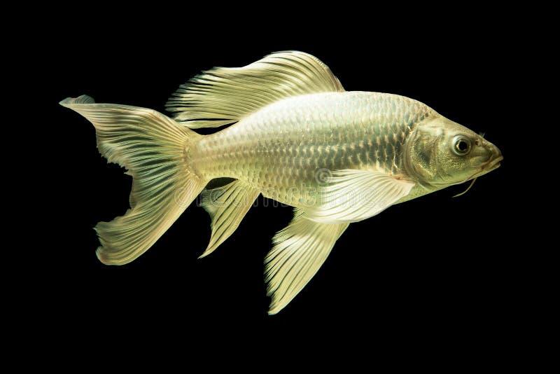 Bunte Karpfenfische des langen Schwanzes und Aquariumhaustiere lizenzfreie stockbilder