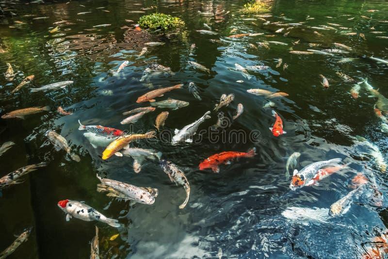 Bunte Koi Fish-Schwimmen in einem Teich lizenzfreie stockbilder