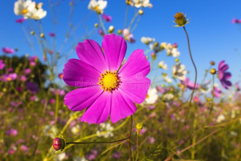 Bunte Kosmos-Blume lizenzfreie stockbilder