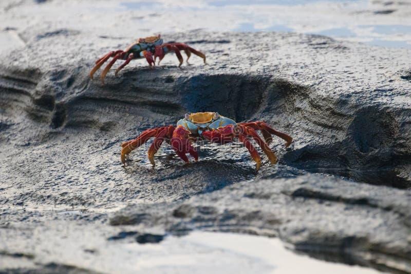 Bunte Krabben auf den Felsen auf den Galapagos-Inseln lizenzfreies stockbild