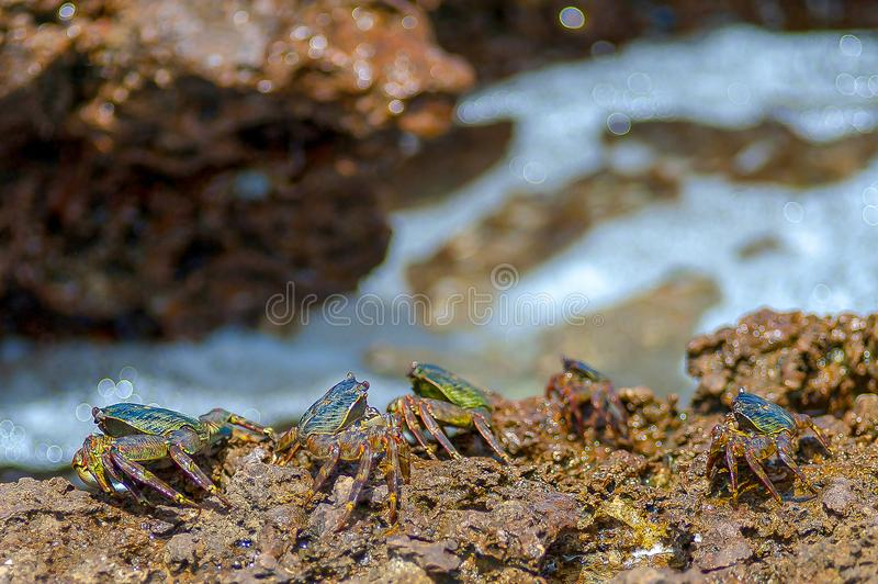 Bunte Krabben unter den Felsen durch das Meer, Oman, arabisches Meer stockbilder