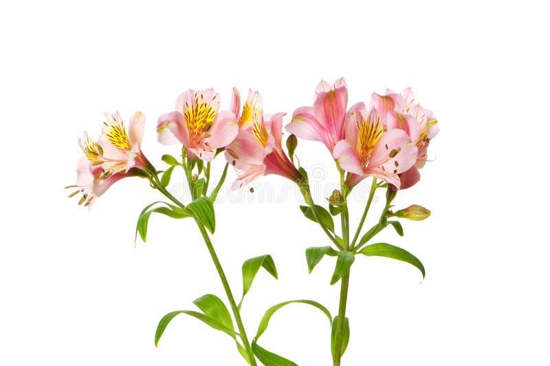 Bunte Lilien getrennt stockfoto