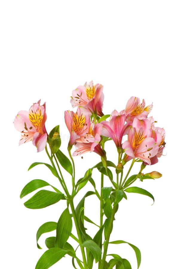 Bunte Lilien getrennt stockfotos