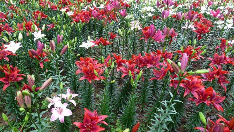Bunte Lilienblumen stockbild