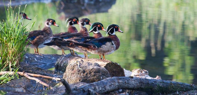 Bunte männliche hölzerne Ente, stehend lizenzfreies stockfoto