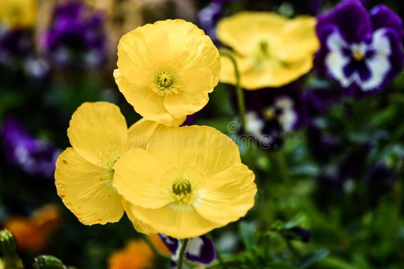 Bunte Mohnblumen in einem allgemeinen Garten lizenzfreie stockfotos