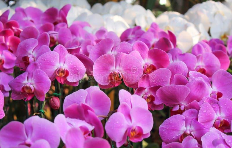 Bunte Natur süße rosa Phalaenopsis-Orchideenmuster mit den Wassertropfen, die des Morgengartens blühen stockfotos