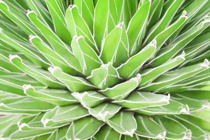 Bunte Naturgrün-Kaktusblumen, die mit Linie weißer Rand in vielen Schichtmustern blühen lizenzfreie stockfotografie