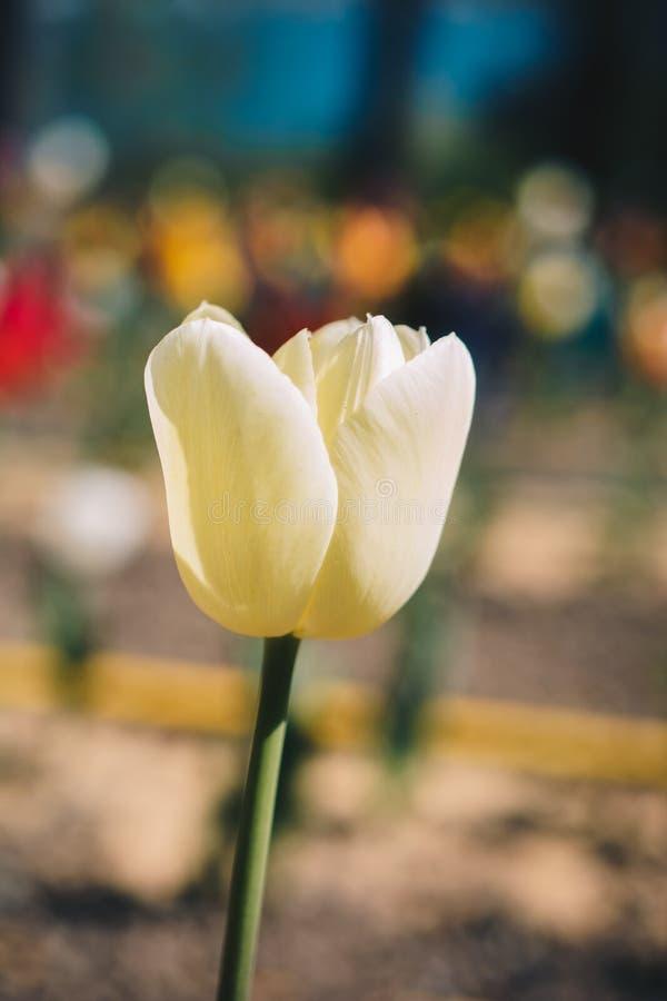 Bunte neue Tulpenblumenbl?te im Garten stockfotos