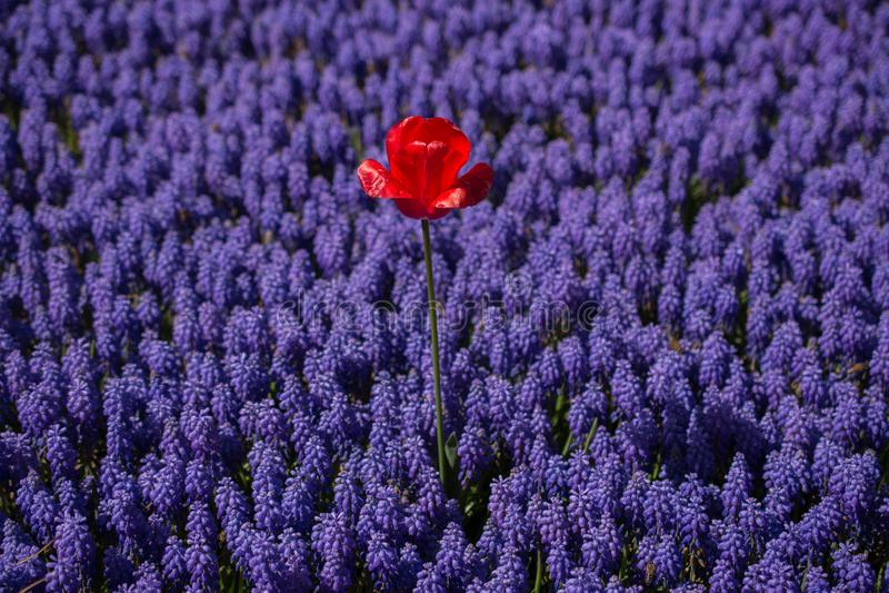 Bunte neue Tulpenblumenbl?te im Garten lizenzfreie stockbilder