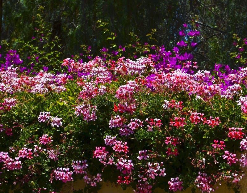 Bunte Pelargonien- und Bouganvillablumen im Garten am sonnigen Tag Blühende helle Pelargonienanlagen lizenzfreie stockfotos