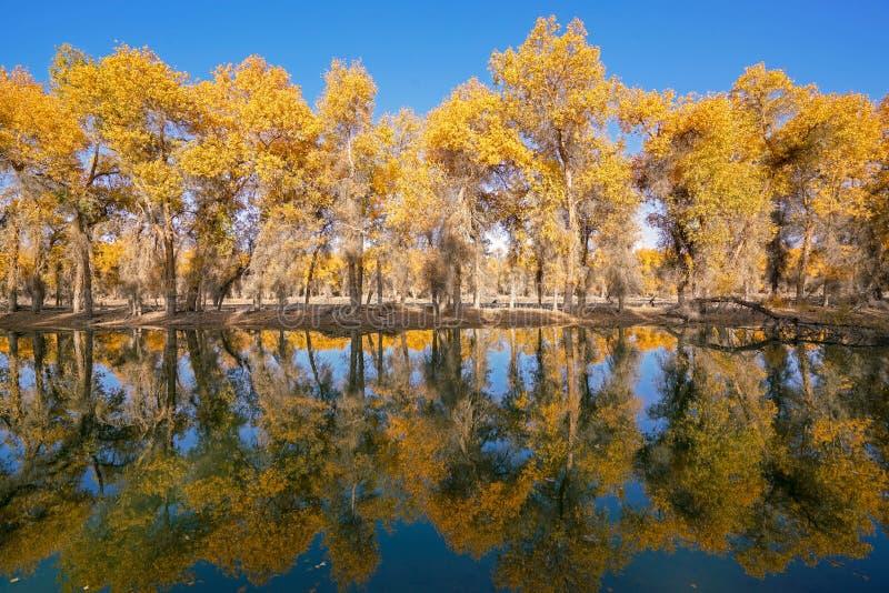 Bunte Populus-Wasser-Reflexion im Herbst durch Fluss Tarim lizenzfreie stockfotos