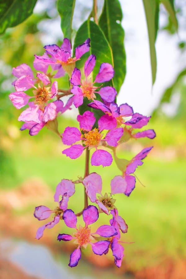 Bunte purpurrote Blume, die blühen oder Natur Lagerstroemia loudonii, das am Baum hängt lizenzfreie stockfotografie