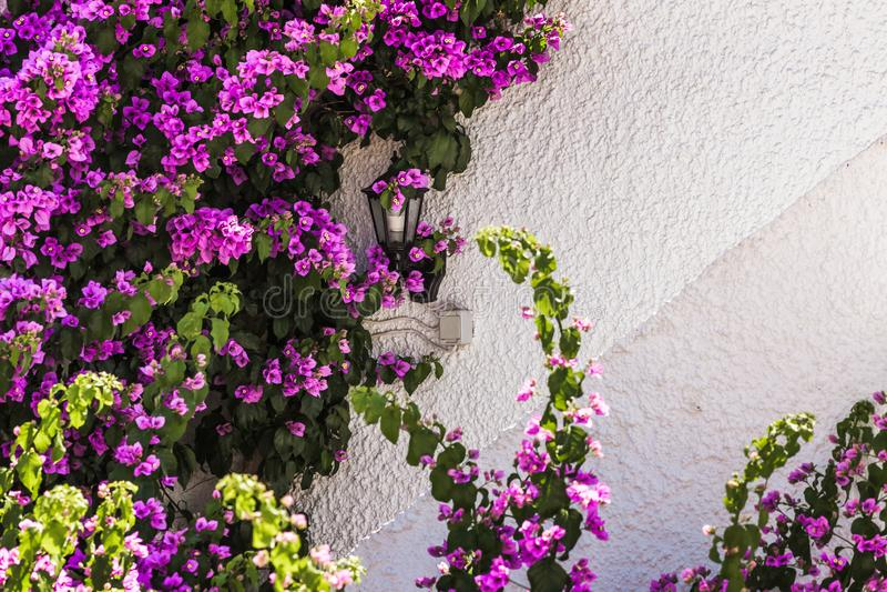 Bunte purpurrote Bouganvilla-Blumen lokalisiert gegen weiße Wand stockfoto