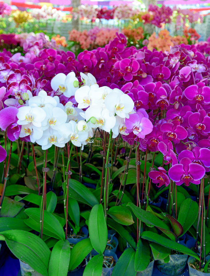 Bunte purpurrote Orchideeblumen stockfoto
