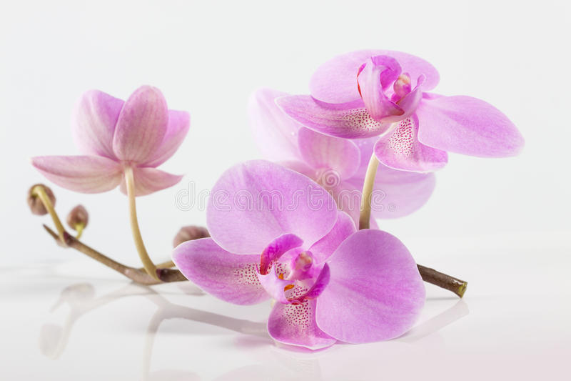 Bunte purpurrote Orchideeblumen Badekurort lizenzfreies stockfoto
