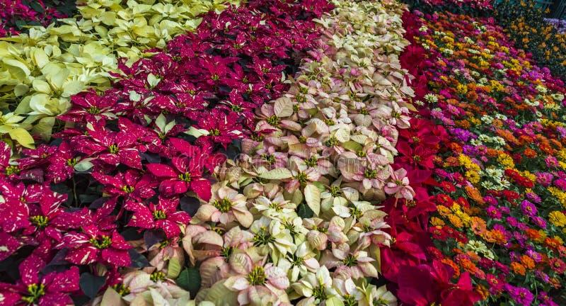 Bunte Reihen von Blumen - Lalbagh-Blumenschau im Januar 2019 - Mischblumen-Anzeige lizenzfreies stockbild