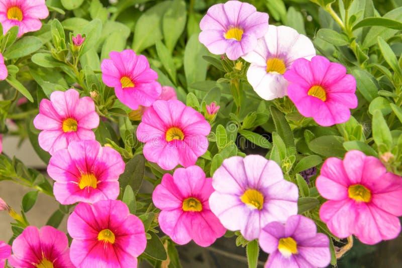 Bunte rosa Petunienblumen schließen herauf Hintergrund in einem Garten stockbilder