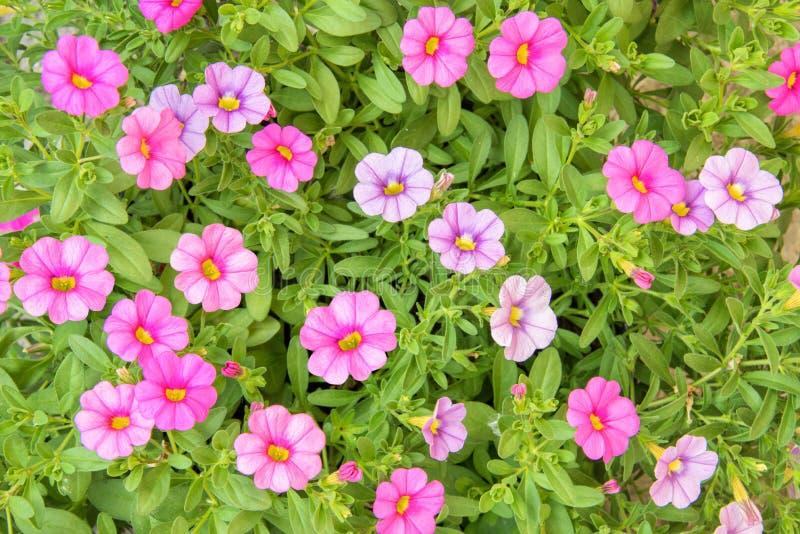 Bunte rosa Petunienblumen schließen herauf Hintergrund in einem Garten lizenzfreie stockfotografie