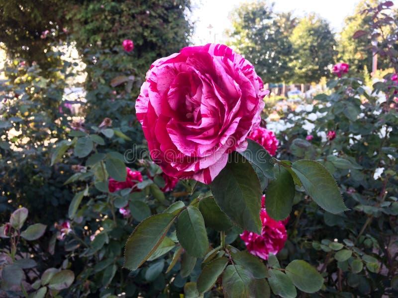 Bunte Rose stockfotografie