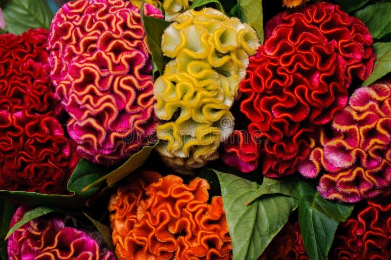 Bunte rote gelb-orangee Celosiablume lizenzfreie stockbilder