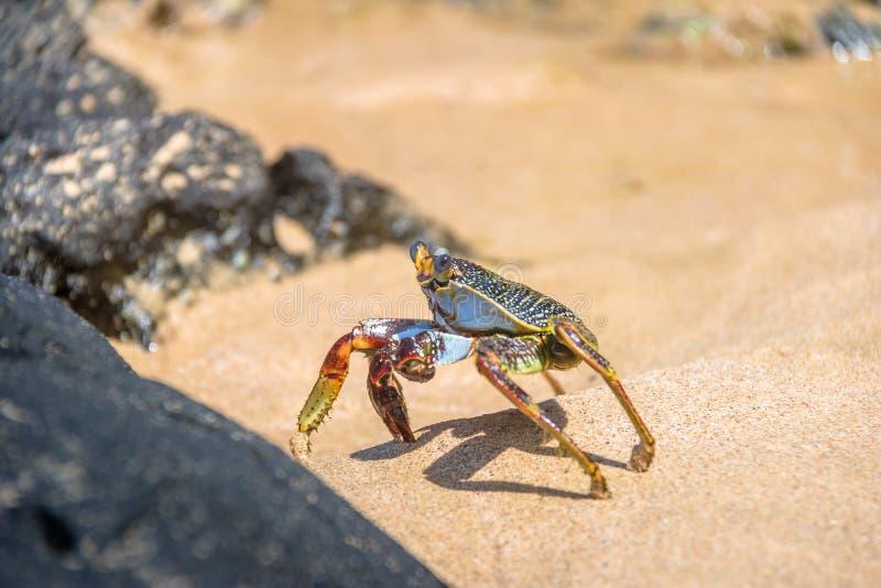 Bunte rote Krabbe am Praia tun Sancho Beach - Fernando de Noronha, Pernambuco, Brasilien lizenzfreie stockfotos
