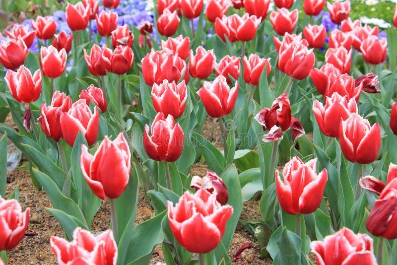 Bunte rote u. weiße Tulpenblumen im Garten stockfoto