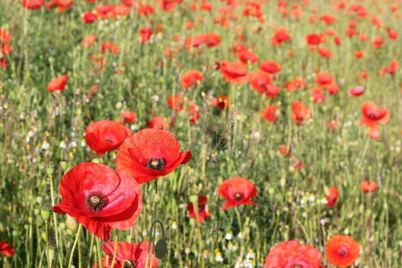 Bunte rote wilde Mohnblumen auf einem Gebiet stockbilder