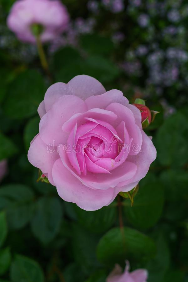 Bunte, schöne, empfindliche Blume stieg in den Garten lizenzfreie stockfotografie