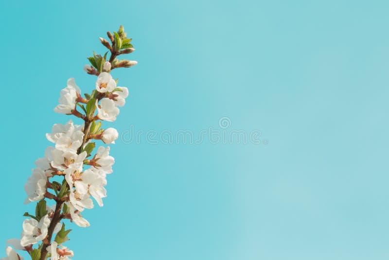 Bunte schöne Frühlingskirschniederlassung mit blühenden Blumen auf einem klaren blauen Himmel Großer blauer Hintergrund lizenzfreie stockbilder