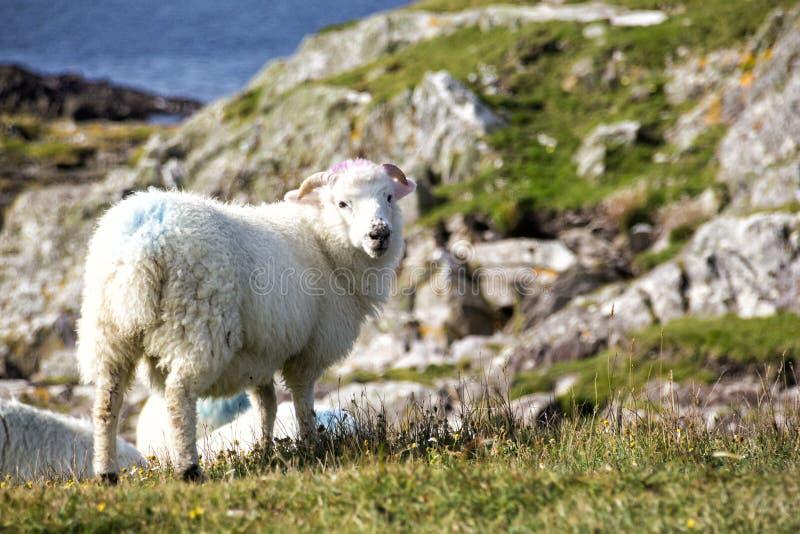 Bunte Schafe auf der Klippe, die Kamera betrachtet lizenzfreie stockfotografie