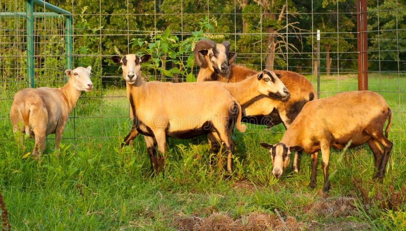 Bunte Schafe in der Abendsonne lizenzfreies stockbild