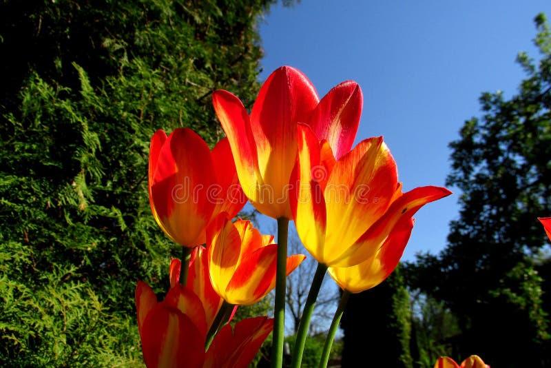 Bunte Sonne der Tulpen im Frühjahr mit dem Hintergrund des grünen Grases stockfotos