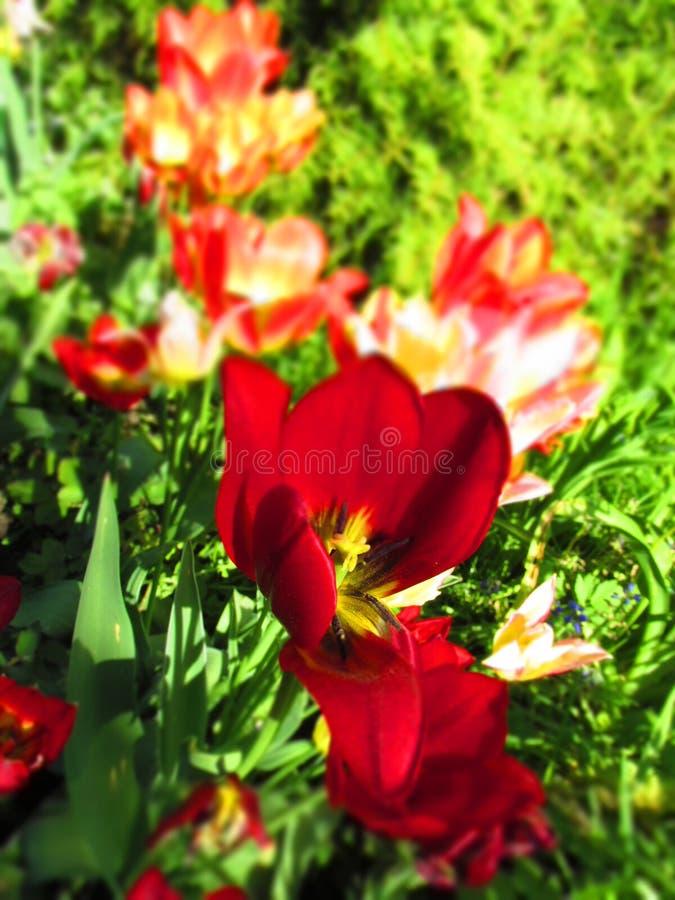 Bunte Sonne der Tulpen im Frühjahr mit dem Hintergrund des grünen Grases lizenzfreie stockfotografie