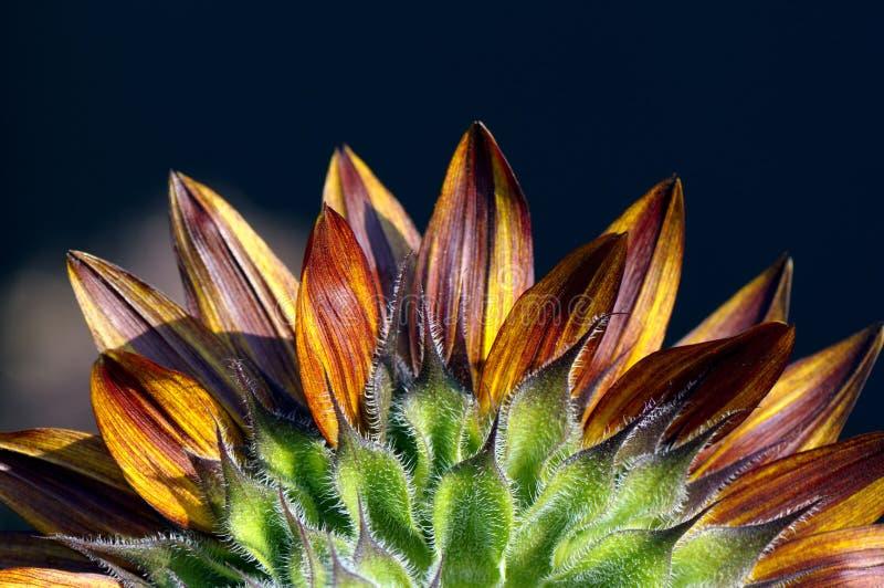 Bunte Sonnenblumeblumenblätter stockbild