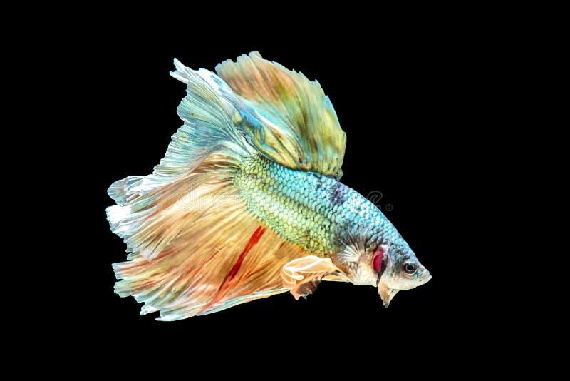 Bunte thailändische betta Fische, grünes betta, gebrochener Fisch auf einem schwarzen Hintergrund lizenzfreie stockfotografie