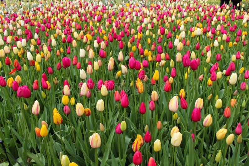 Bunte Tulpe stockbild