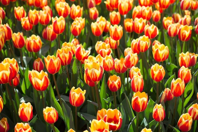 Bunte Tulpe blüht als Hintergrund im Garten lizenzfreie stockfotos