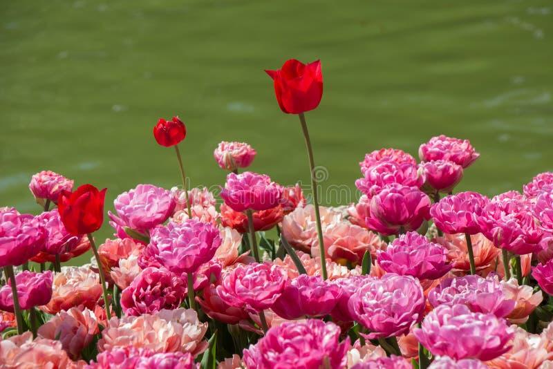 Bunte Tulpe blüht bloomby den Teich stockfotos