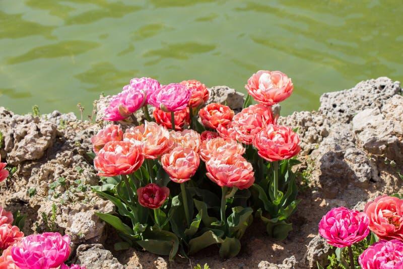 Bunte Tulpe blüht bloomby den Teich lizenzfreies stockbild