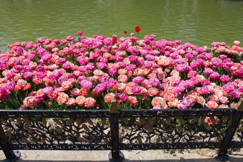 Bunte Tulpe blüht bloomby den Teich stockfoto