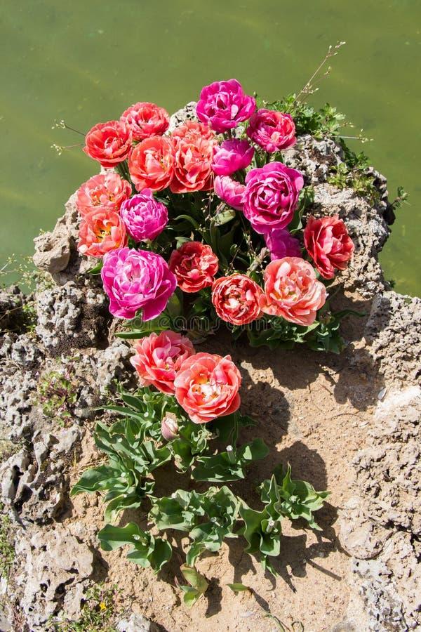 Bunte Tulpe blüht bloomby den Teich stockbild
