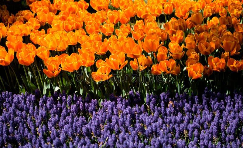 Bunte Tulpe bl?ht Bl?te im Garten lizenzfreie stockfotos