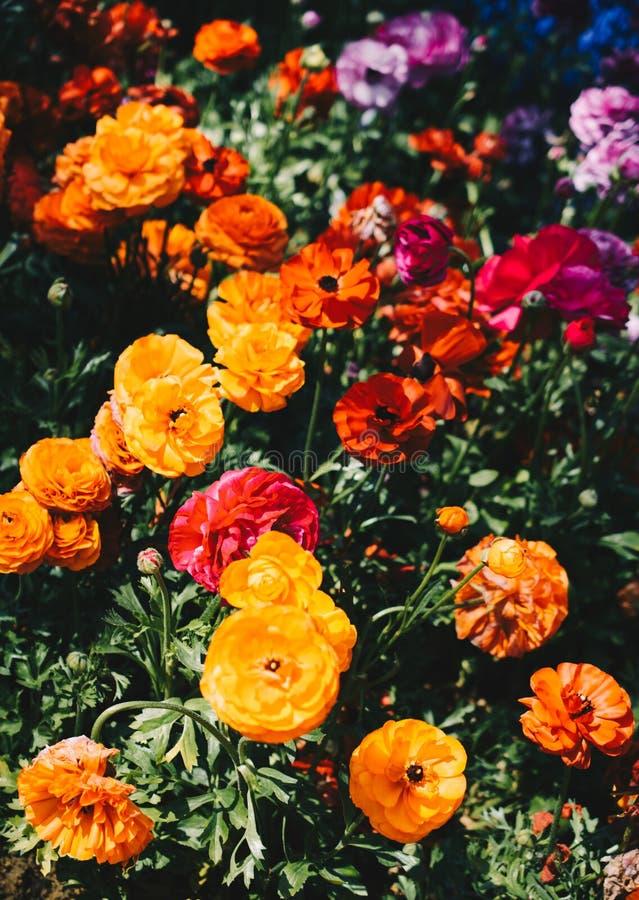 Bunte Tulpe bl?ht Bl?te im Garten lizenzfreies stockfoto