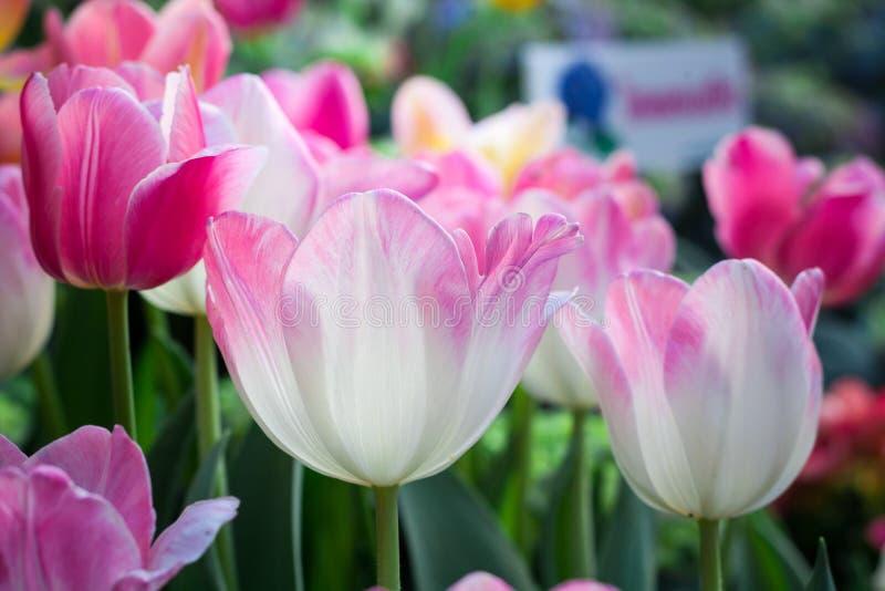 Bunte Tulpe im Garten lizenzfreies stockbild