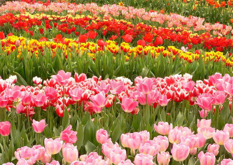 Bunte Tulpen lizenzfreie stockfotos