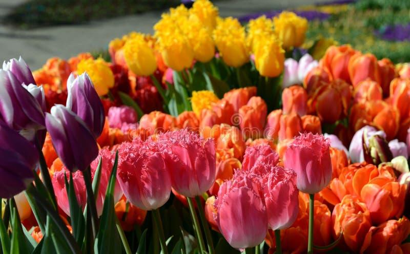 Bunte Tulpen stockbild
