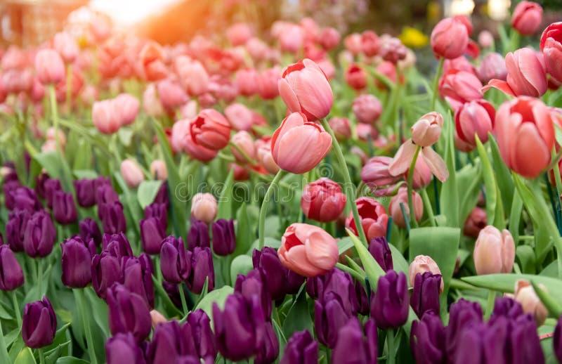 Bunte Tulpen bl?hen Feldanlage lizenzfreie stockbilder